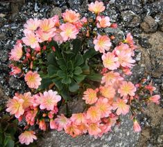 Garden Flowers - Annuals Or Perennials Lewisia Cotyledon - Skalnika Rock Plants, Blossom Garden, Garden Catalogs, Plants Are Friends, Replant, Cacti And Succulents, Amazing Flowers, Vegetable Garden, Container Gardening