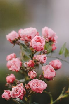 pink garden roses...