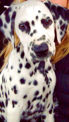 My beautiful 10 week old #dalmatian