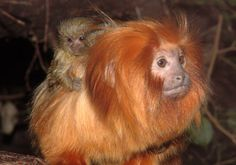 Golden Lion Tamarin with Pygmy Marmoset baby Marmoset Monkey, Pygmy Marmoset, Golden Lion Tamarin, Cute Monkey, Mundo Animal, All Gods Creatures, Primates, Mom And Baby, Chinese Zodiac