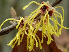 Witch hazel is wonderful as an astringent toner. It is also great for sore muscles and bruising. Most commercial witch hazel is in alcohol. Planet Botanix carries an alcohol free witch hazel hydrosol :) Toronto Gardens, Health And Wellness, Health Care, Flowering Shrubs, Witch Hazel, Medicinal Plants, American Indians, Bloom, Commercial