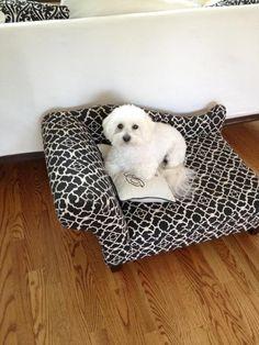 Ava, my perfect coton de tulear #cotondetulear #cute #pup