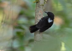 Black Antbird (Cercomacra serva)