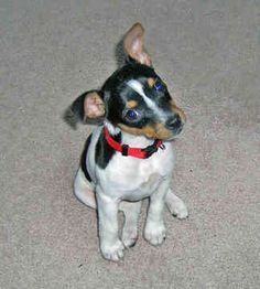 rat terriers - Google Search
