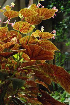 In-Season Plants: Perennial Begonia