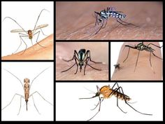 The Secret Lives of Mosquitoes, the World's Most Hated Insects | Smithsonian Voices | National Museum of Natural History | Smithsonian Magazine Secret Life, The Secret, Mosquito Larvae, Mosquitoes, Wild Ones, National Museum, Long Legs, Natural History, Insects