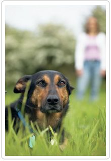 Teaching your dog to come when  called is vitally important. Learn simple steps to teaching this critical skill by clicking the image.