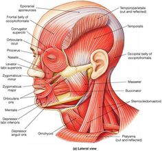 zygomatic facial bone - Google 검색