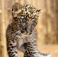 African Black Leopard Cub
