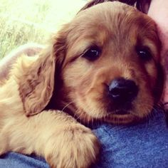 Golden Retriever pup! #Mabel