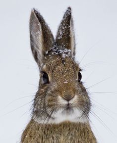 A Nuttall's Cottontail Rabbit endures the winter weather at Rocky Mountain National Park, CO, USA.