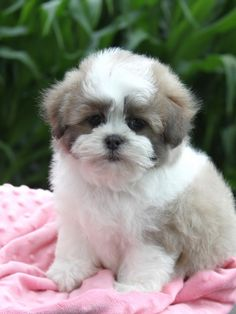 Shih Chon Teapup This Looks Like A Decent Breeder Love The Colors Love When They Are Symmetrical Looking With White On Th Cute Animals Animals Shih Tzu