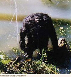 Photo supposedly taken in 1995 of a Sasquatch in a creek near Mt. Rainier in Washington by a forest game officer.