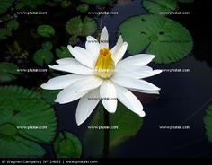 http://www.photaki.com/picture-white-water-lily_24891.htm