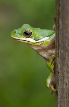 Green Tree Frog in pose. whatcha doing over there? He says to the fly. Can i come over to join you for lunch? Funny Frogs, Cute Frogs, Frog Pictures, Animal Pictures, Reptiles And Amphibians, Mammals, Animals Beautiful, Cute Animals, Amazing Frog