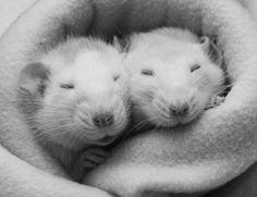 Очаровательные крысы - Фотография