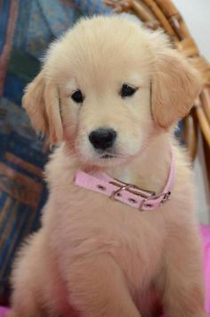 Sweet Golden Retriever Puppy With A Pink Collar. - http://animalfunnymemes.com/sweet-golden-retriever-puppy-with-a-pink-collar/
