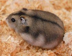 Russian Dwarf Hamster - DwarfHamsterHome.com