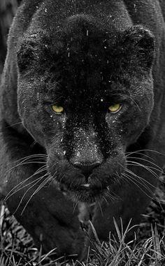 Magicalnaturetour: (via 500px  Black Jaguar Series By Colin...