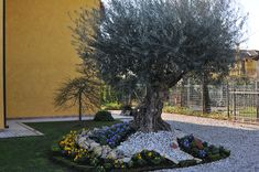 aiuola con ulivo e fiori progetti da provare giardino