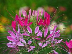 Splashes of bright pink Cleome flower petals are the focus in this New England Summer image captured in our New Hampshire garden.
