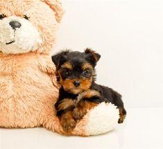 Teacup Yorkshire Terrier ...om gosh, what a cutie #yorkshireterrier