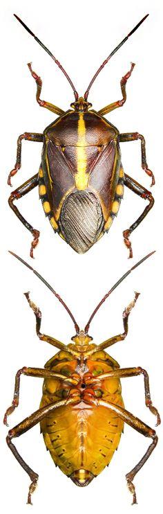 Musgraveia antennata