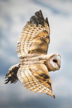 Barn Owl in flight   Photographer   CV