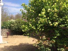 Virágzik a labdarózsa, készül a kert