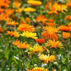 Easy Garden, Home And Garden, Calendula, Garden Plants, Wild Flowers, Pictures, Wedding Stuff, Gardening, Interiors