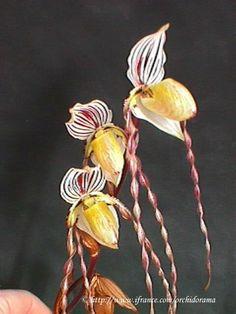 Paphiopedilum roebbelenii