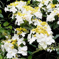 Golden Crane Hydrangea - Great color, early bloom, and sumptuous scent make this hydrangea a must-have for gardens.