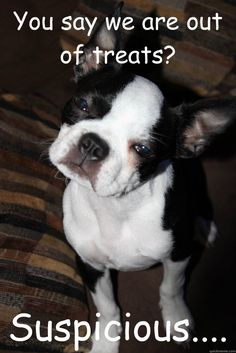 Suspicious Boston Terrier - My Sugar looks just liker this one and loves treats. I've had three Boston Terriers they are excellent dogs. I lost my Dixie on Mother's Day this year and we had to get another one for our other Dog. LOL