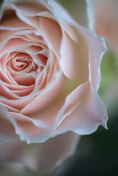 ~~pink rose by rosemary*~~
