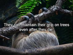 Interesting facts about sloths