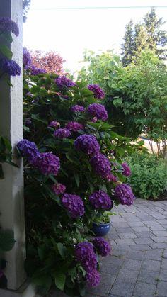 Hydrangeas | Fabulous Color