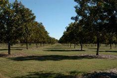 Organic Pecan tree guidelines