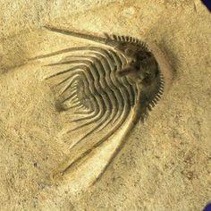 http://www.fossilmall.com/EDCOPE_Enterprises/trilobites/mtrilo130/13167B.jpg