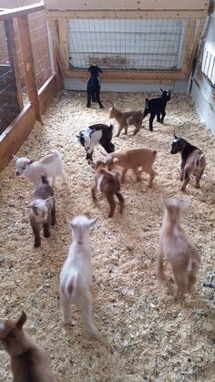 Watching Baby Goats Bounce Around is Pure Entertainment