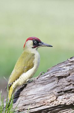 "European Green Woodpecker ""Picus viridis"" by Groene Specht Exotic Birds, Colorful Birds, Green Woodpecker, Bird Pictures, Wild Birds, Bird Feathers, Wildlife Photography, Pet Birds, Creatures"
