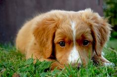 Nova Scotia Duck Tolling Retriever Pup ~ Classic Look Cute Puppies, Cute Dogs, Dogs And Puppies, Doggies, Baby Puppies, Baby Animals, Cute Animals, Nova Scotia Duck Tolling Retriever, Best Dog Breeds