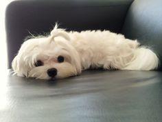 Maltese ~ 12 months old