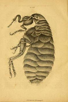Flea illustration from Views of the Microscopic World, by J. Brocklesby, 1851.