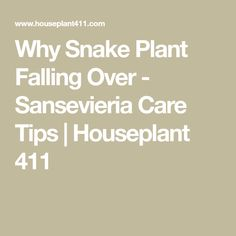 Why Snake Plant Falling Over - Sansevieria Care Tips | Houseplant 411