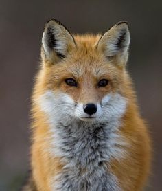 Red Fox by Larry Hitchens