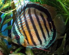 Red Spotted Green Discus (Symphysodon spp.)