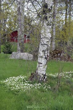 in May, in Finland Red Houses, Norwegian Wood, Scandinavian Countries, Birches, Landscape Pictures, Travel Bugs, Helsinki, Summer Of Love, Spring Time
