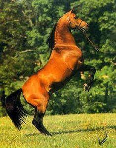 *ALADDINN 1975 bay stallion  http://public.fotki.com/hypoint/arabians/arabian_horse_aladdinn/aladdinni3.html