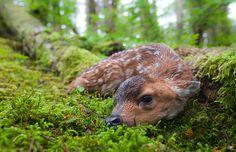 BABY ALERT! :) <3 Black-tailed deer fawn resting in moss covered rainforest, Montague Island, Prince William Sound, Alaska (© Alaska Stock/Alamy)