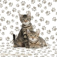 Tabby kittens lounging together on pawprint background